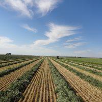 Rows of freshly cut hay